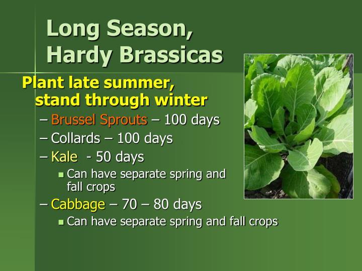 Long Season,                 Hardy Brassicas