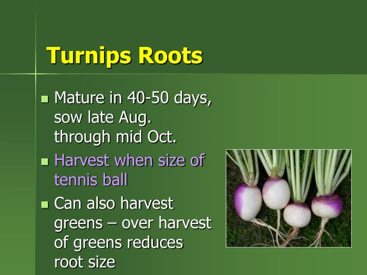 Turnips Roots