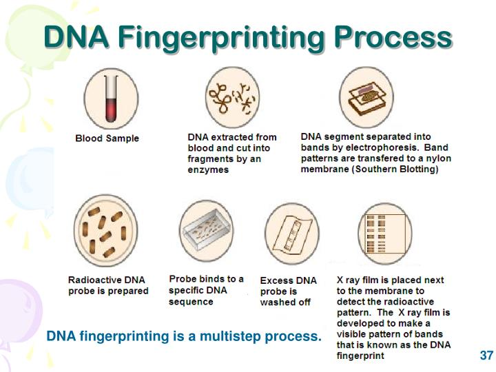 DNA Fingerprinting Process