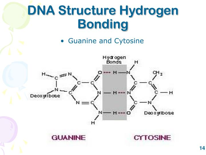 DNA Structure Hydrogen Bonding