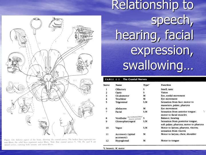 Relationship to speech, hearing, facial expression,  swallowing…