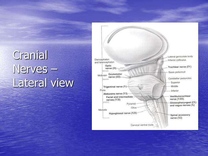 Cranial Nerves – Lateral view