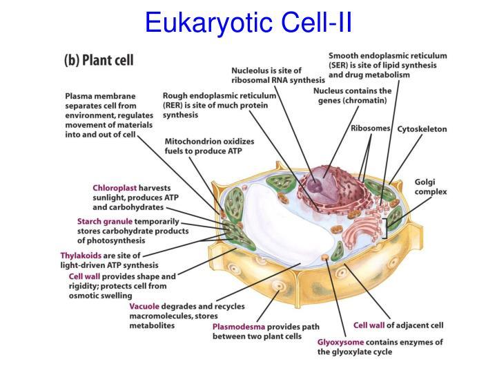 Eukaryotic Cell-II