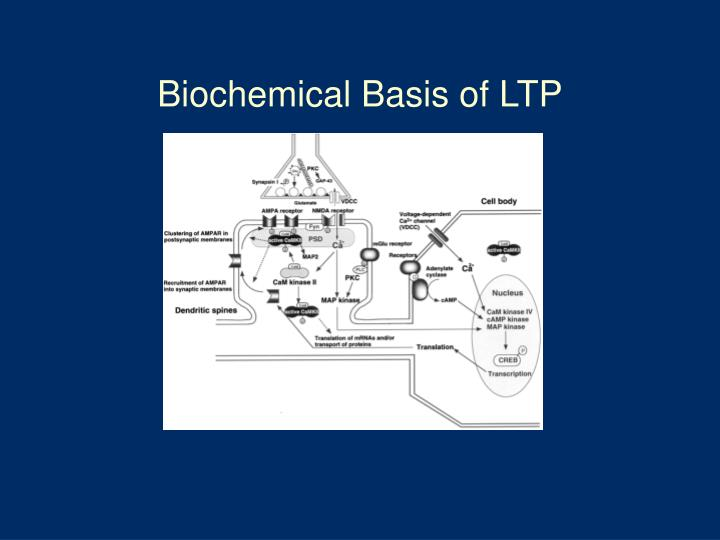 Biochemical Basis of LTP