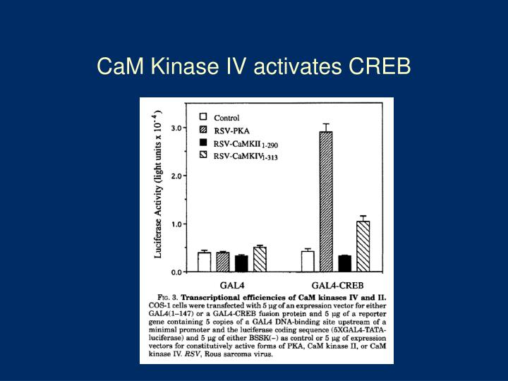 CaM Kinase IV activates CREB