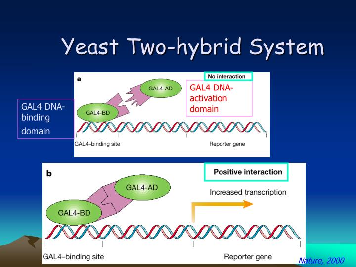 Yeast Two-hybrid System