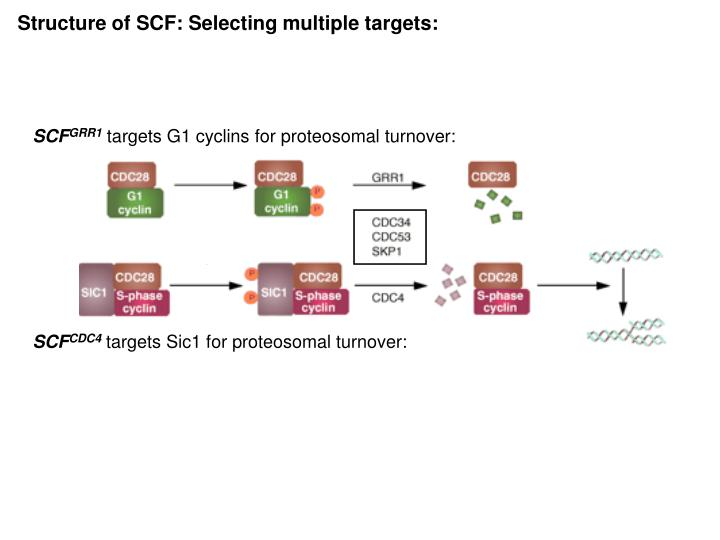 Structure of SCF: Selecting multiple targets: