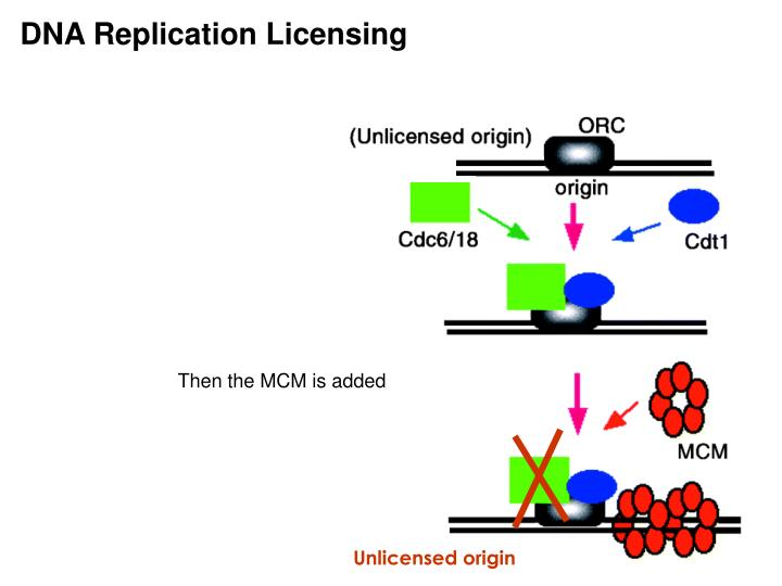 DNA Replication Licensing
