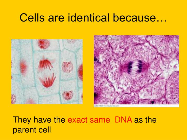 Cells are identical because…