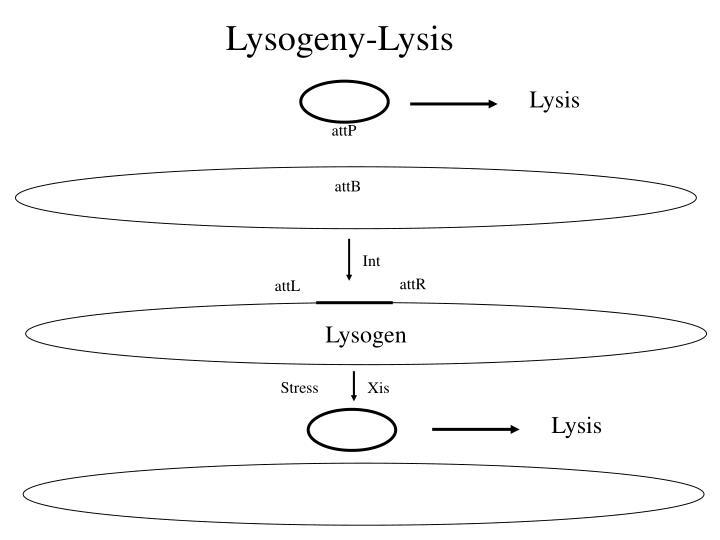 Lysogeny-Lysis