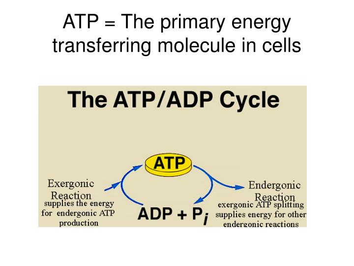ATP = The primary energy transferring molecule in cells