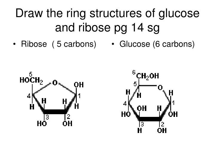 Draw the ring structures of glucose and ribose pg 14 sg