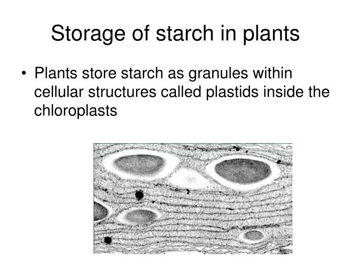 Storage of starch in plants