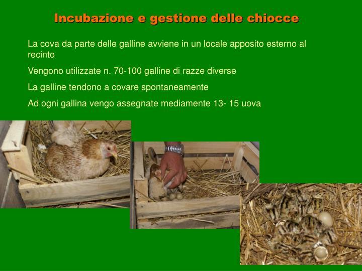 Incubazione e gestione delle chiocce