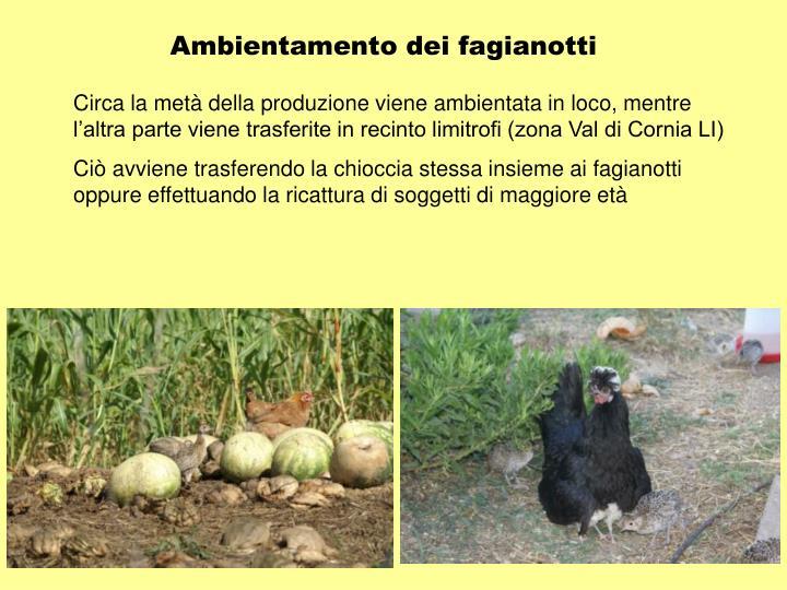 Ambientamento dei fagianotti