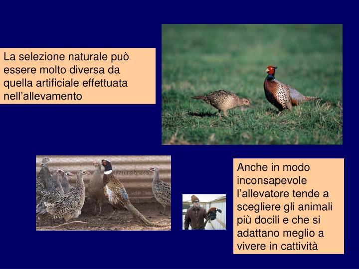 La selezione naturale può essere molto diversa da quella artificiale effettuata nell'allevamento