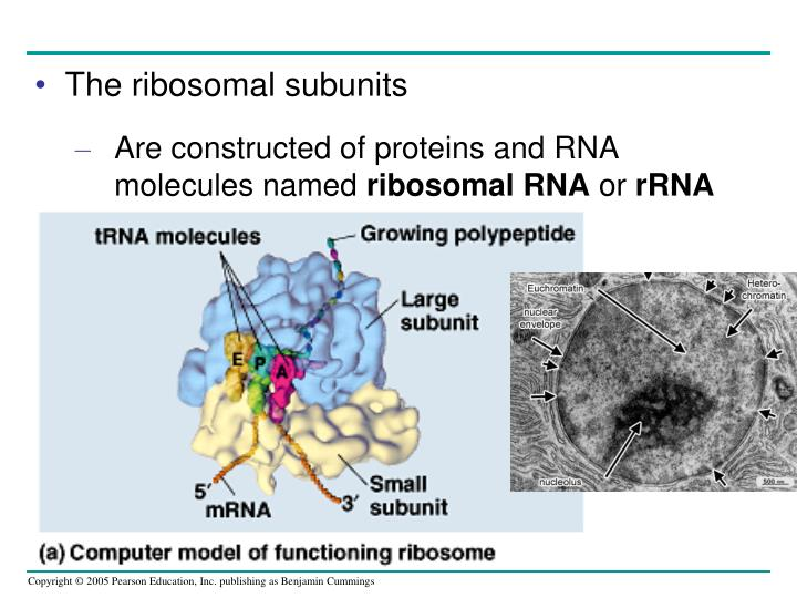 The ribosomal subunits