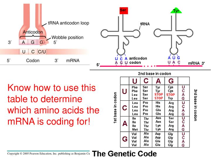 Know how to use this table to determine which amino acids the mRNA is coding for!
