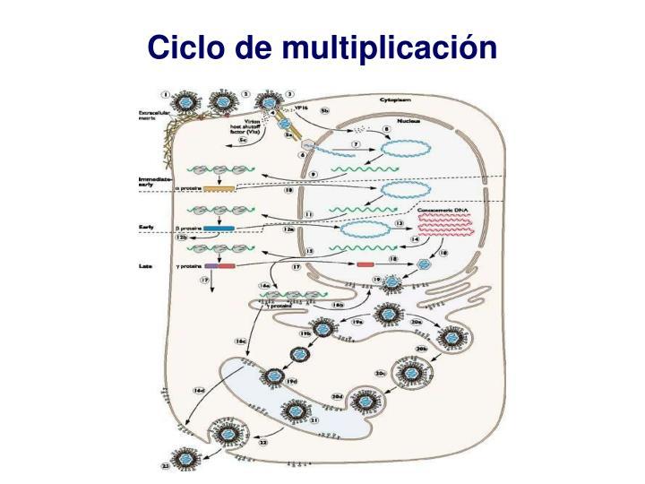 Ciclo de multiplicación