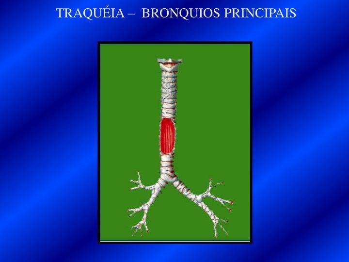 TRAQUÉIA –  BRONQUIOS PRINCIPAIS