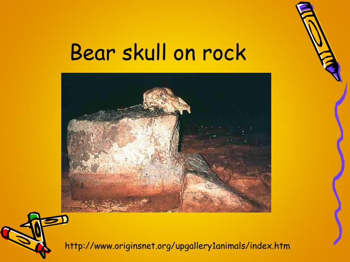 Bear skull on rock