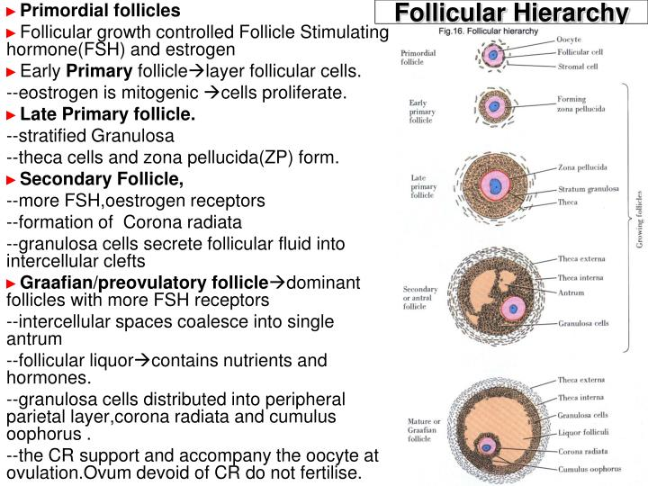 Follicular Hierarchy