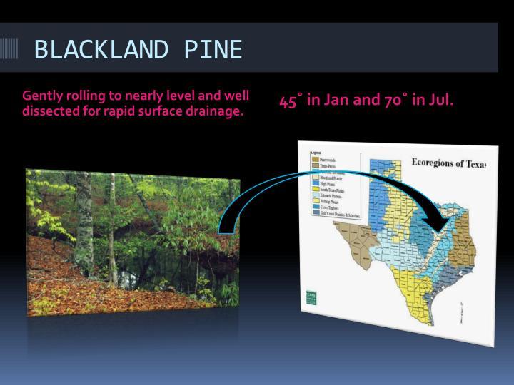 BLACKLAND PINE