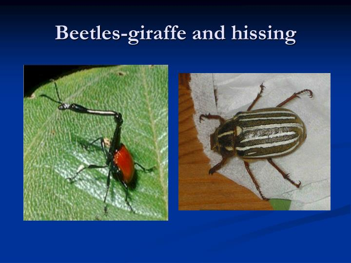 Beetles-giraffe and hissing