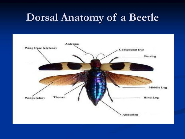 Dorsal anatomy of a beetle