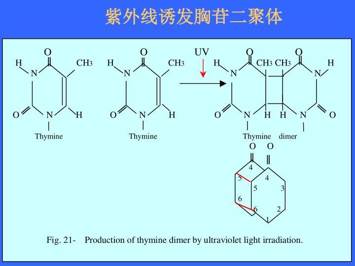 紫外线诱发胸苷二聚体