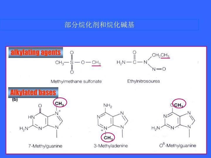 部分烷化剂和烷化碱基