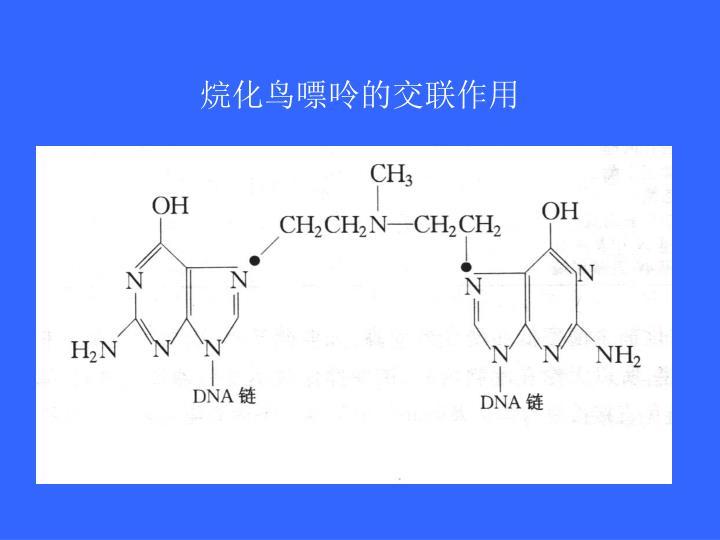 烷化鸟嘌呤的交联作用
