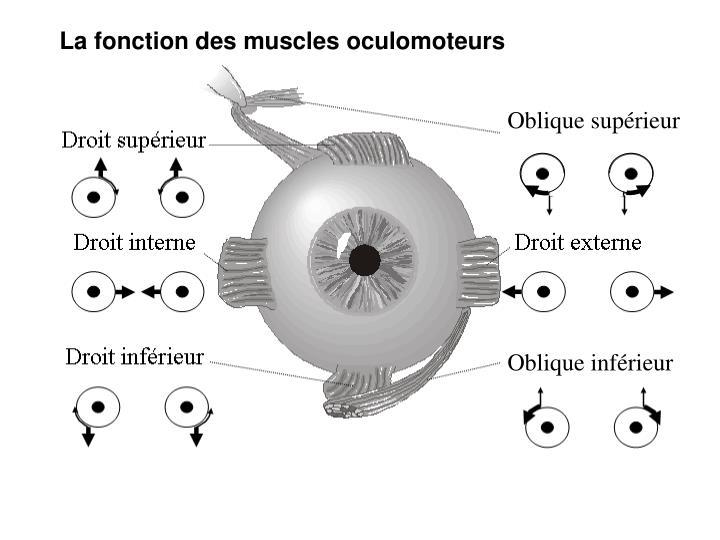 La fonction des muscles oculomoteurs
