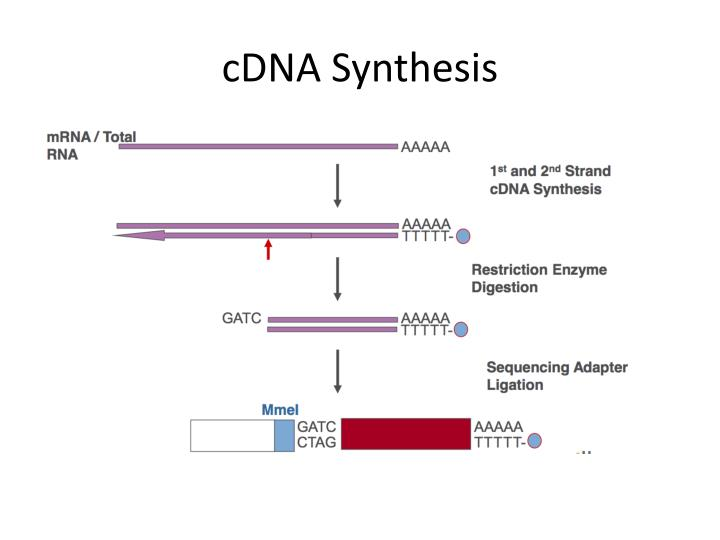 cDNA Synthesis