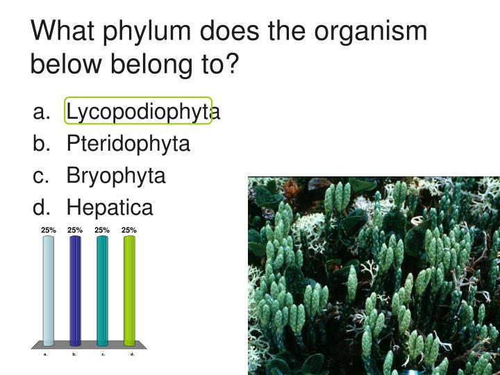 What phylum does the organism below belong to?