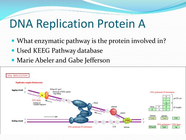 DNA Replication Protein A