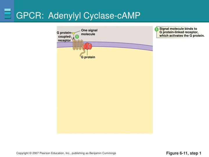 GPCR:  Adenylyl Cyclase-cAMP