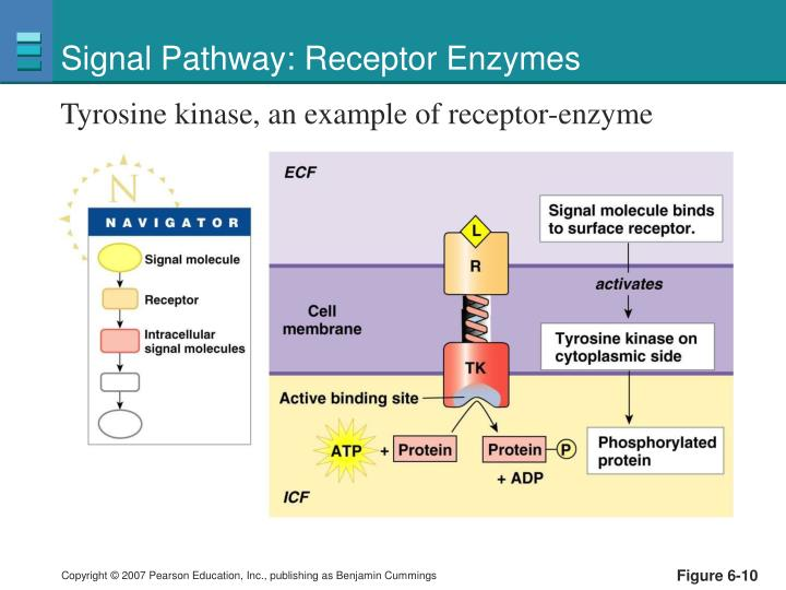 Signal Pathway: Receptor Enzymes