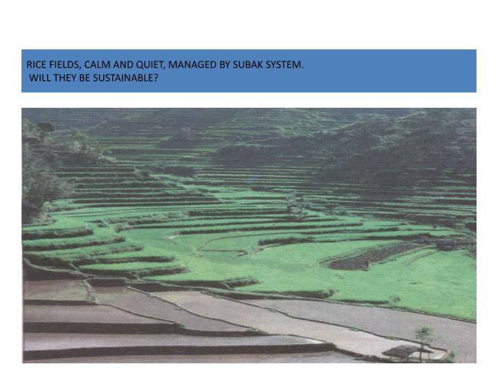 RICE FIELDS, CALM AND QUIET, MANAGED BY SUBAK SYSTEM.