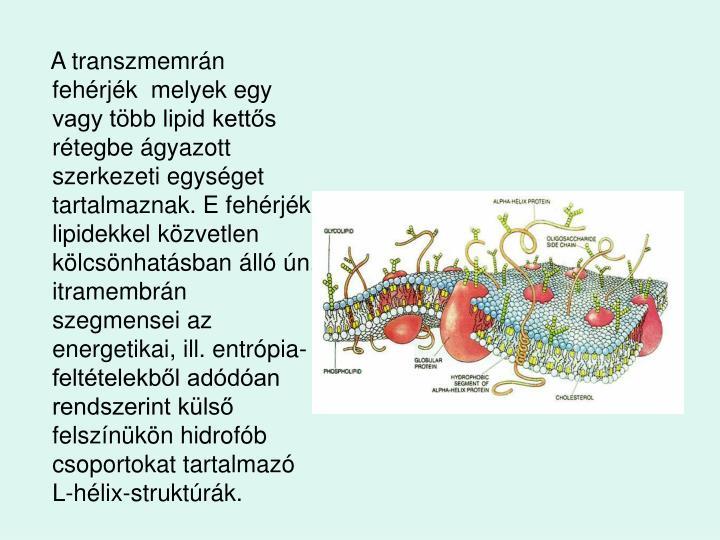 A transzmemrn fehrjk  melyek egy vagy tbb lipid ketts rtegbe gyazott szerkezeti egysget tartalmaznak. E fehrjk lipidekkel kzvetlen klcsnhatsban ll n. itramembrn szegmensei az energetikai, ill. entrpia-felttelekbl addan rendszerint kls felsznkn hidrofb csoportokat tartalmaz L-hlix-struktrk.