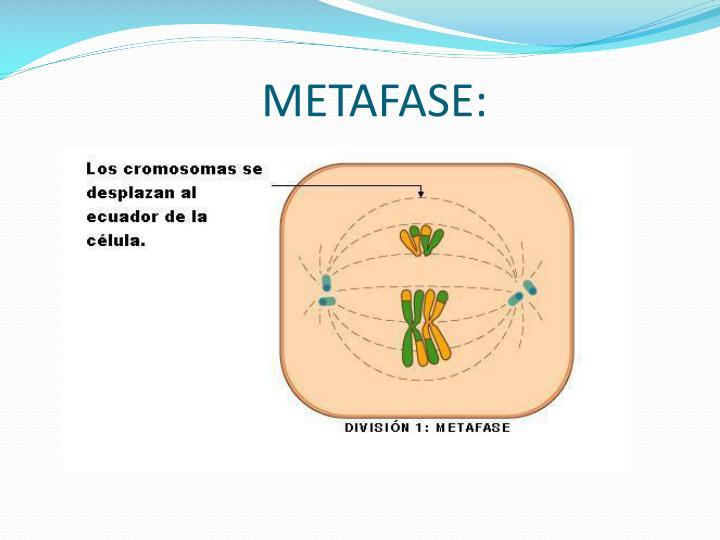 METAFASE: