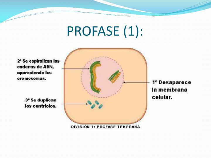 PROFASE