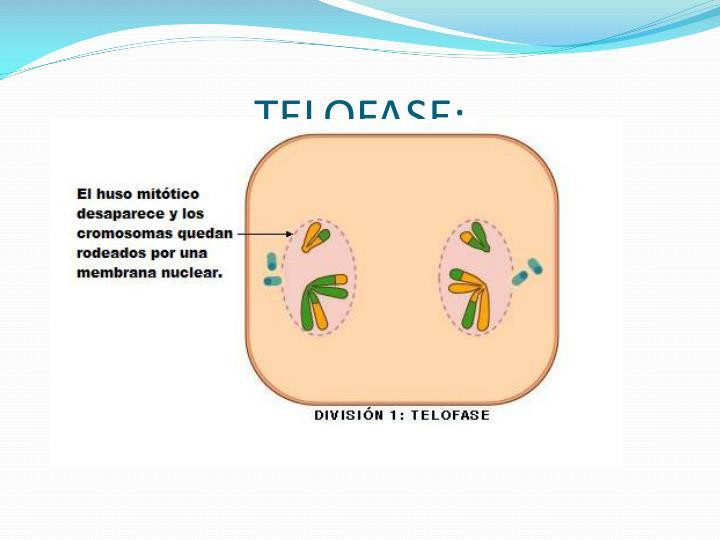 TELOFASE: