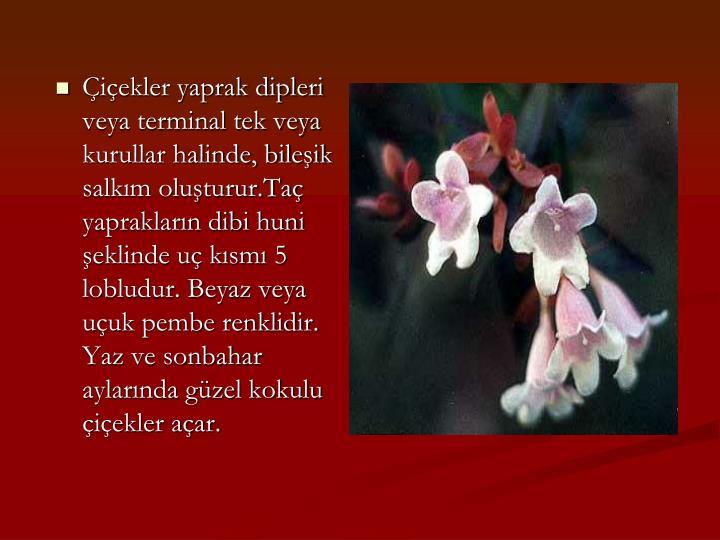 Çiçekler yaprak dipleri veya terminal tek veya kurullar halinde, bileşik salkım oluşturur.Taç yaprakların dibi huni şeklinde uç kısmı 5 lobludur. Beyaz veya uçuk pembe renklidir. Yaz ve sonbahar aylarında güzel kokulu çiçekler açar.