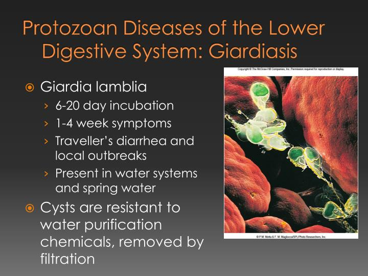 Protozoan Diseases of the Lower Digestive System:
