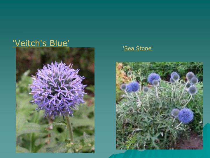 'Veitch's Blue'