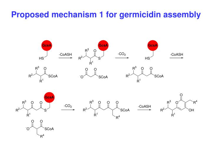 Proposed mechanism 1 for germicidin assembly