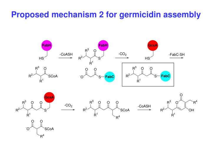 Proposed mechanism 2 for germicidin assembly