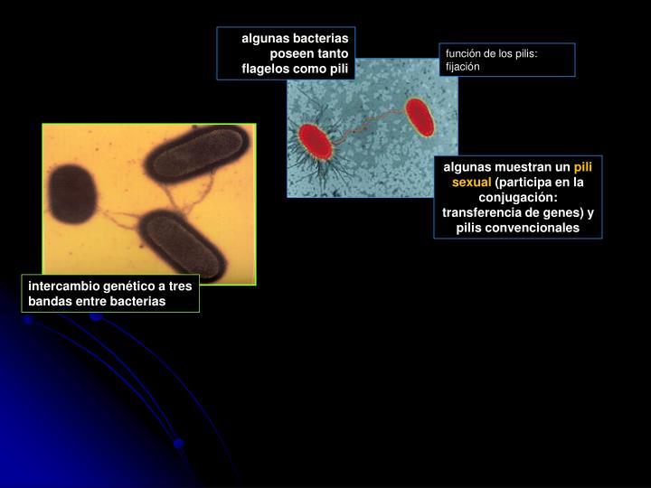 algunas bacterias poseen tanto flagelos como pili