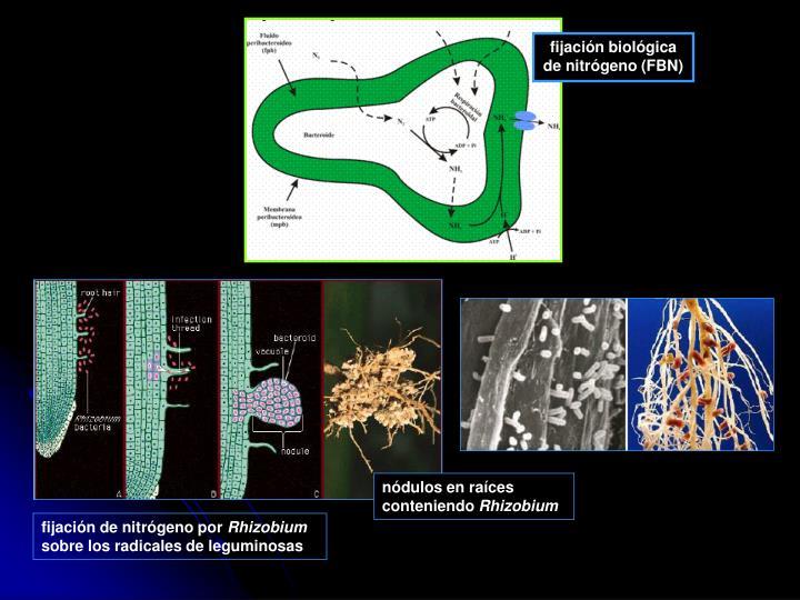 fijación biológica de nitrógeno (FBN)